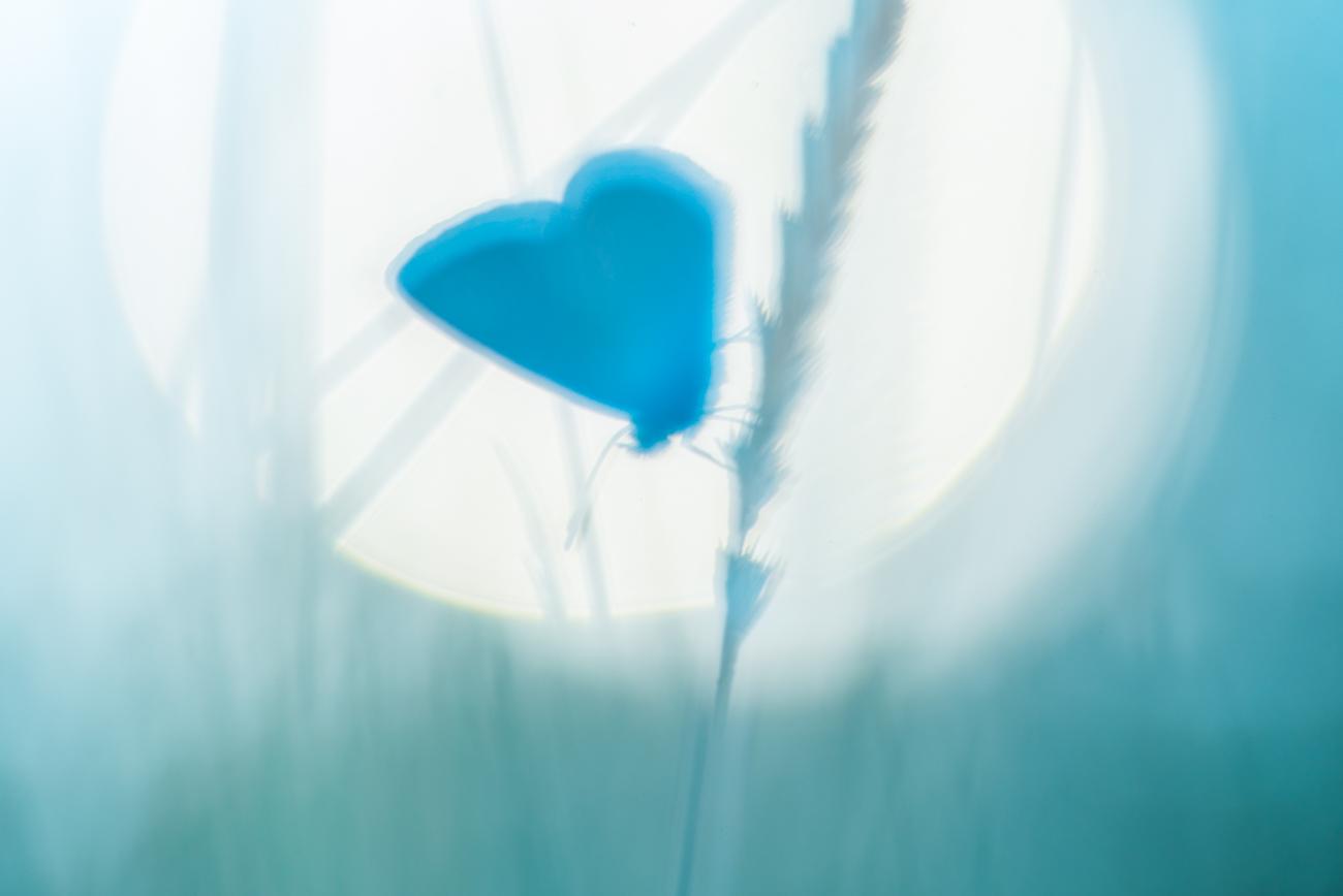 Silhouette d'argus bleu
