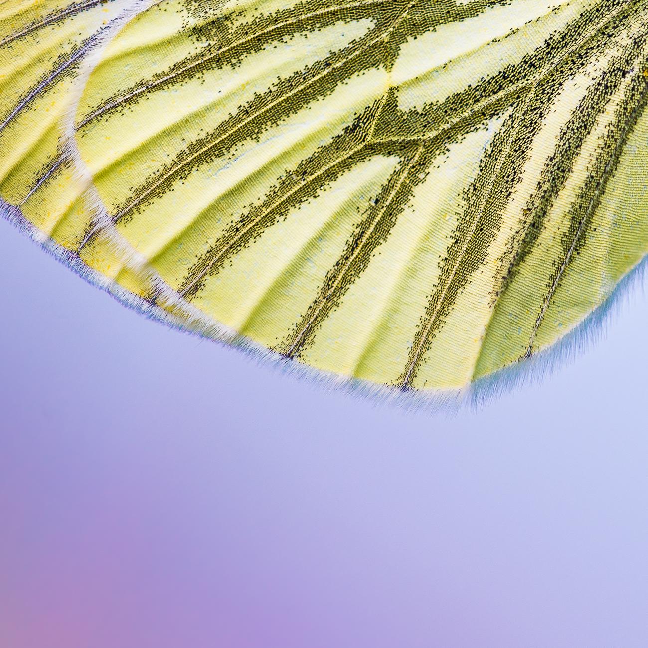 Détails sur l'aile d'une piéride du navet