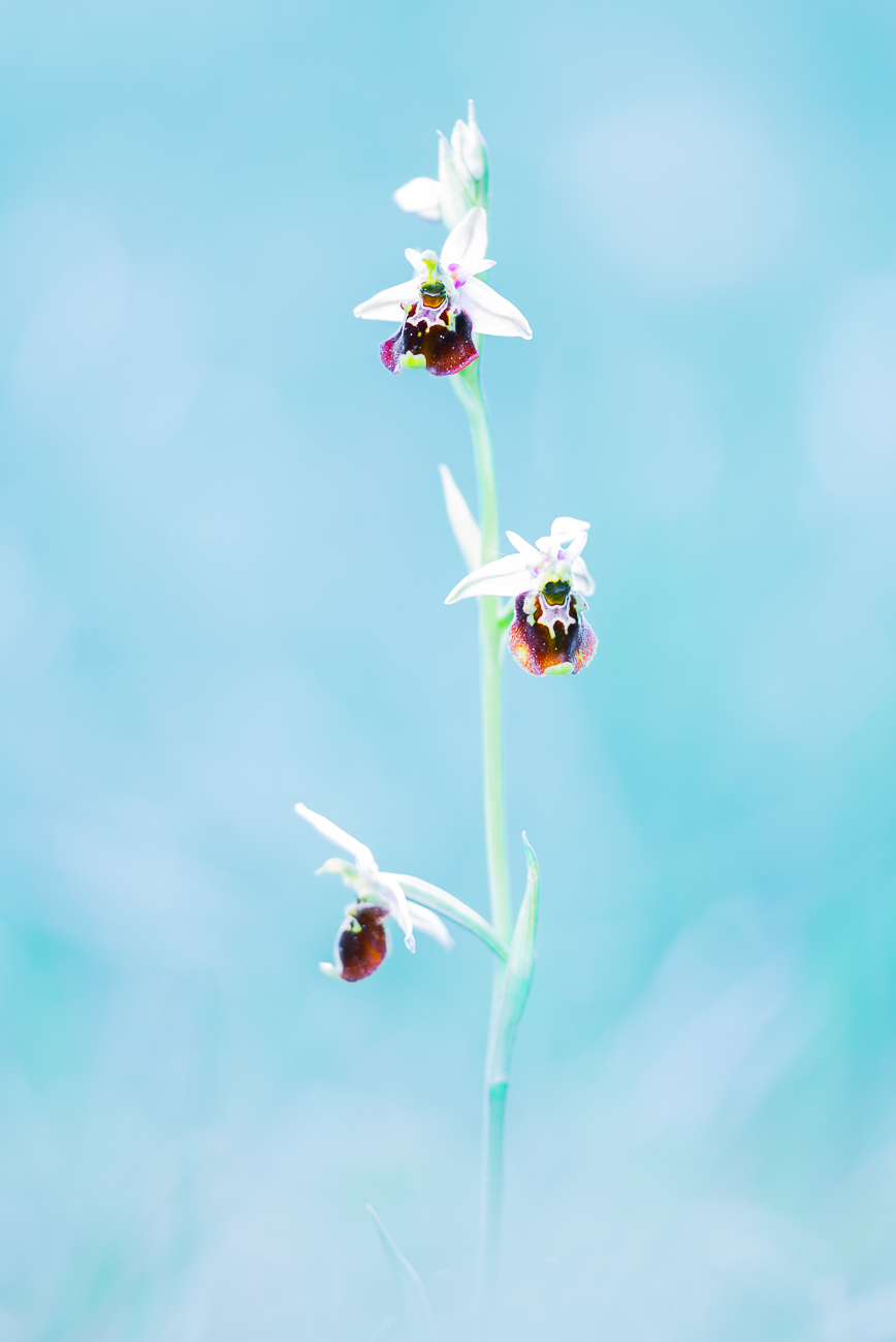 Ophrys bourdon / Etienne Francey