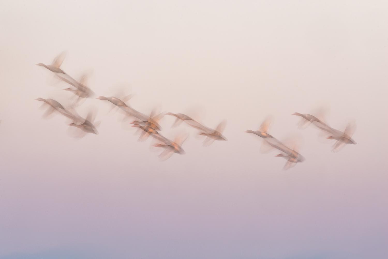 Vol de nettes rousses