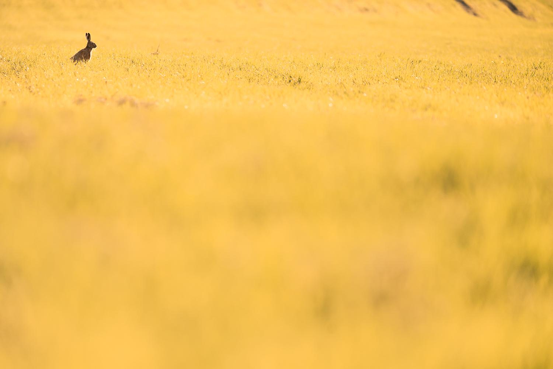 Lièvre brun