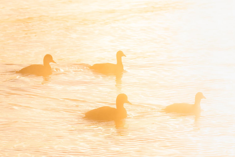 Canards au petit matin