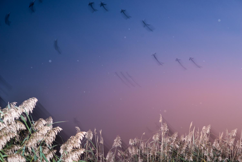 Vol de canards à la tombée de la nuit